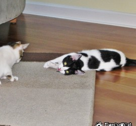 The Cow Cat Scotch and Soda when they were kittens