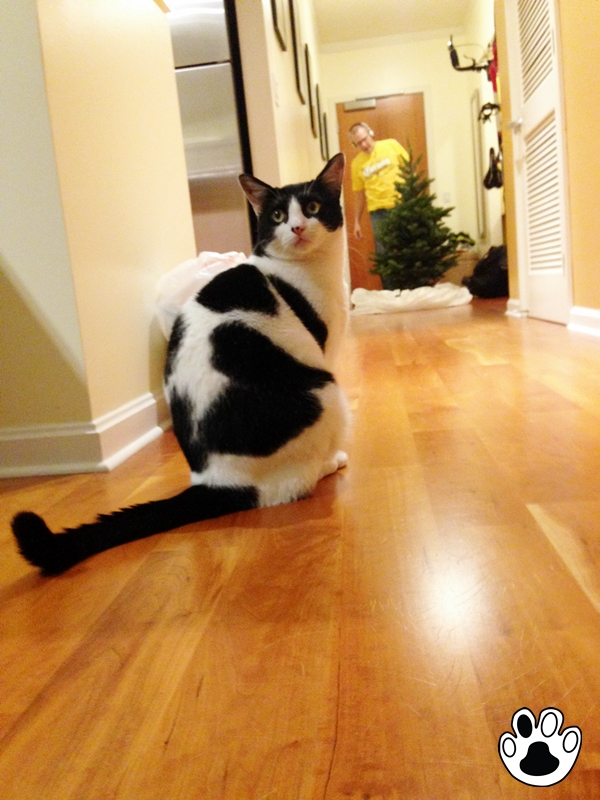 Christmas Tree For Kitty Is Here| The Cow Cat