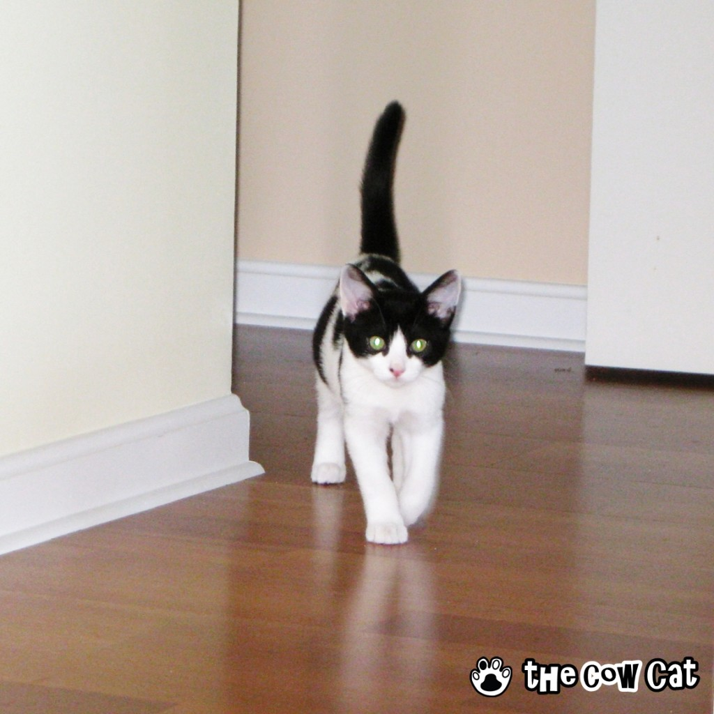 Cute cat pictures | The Cow Cat Throwback Thursday