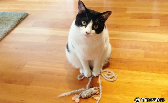 The Cow Cat With Favorite Mousy Beg Face