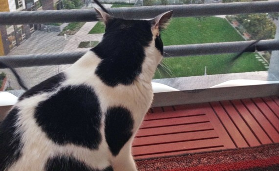The Cow Cat | Let's go for cat walk with cow kitty watching traffics