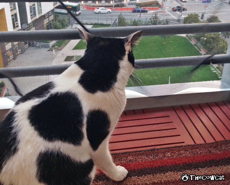 The Cow Cat   Let's go for cat walk with cow kitty watching traffics
