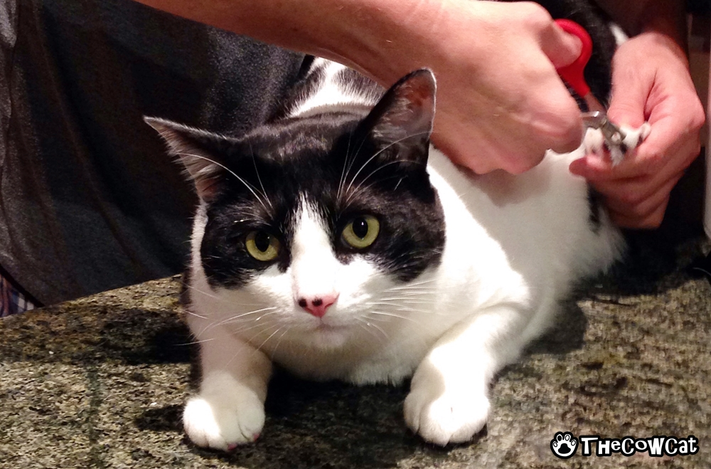 Starvation is killing me | The Cow Cat nail trimming comes with treats