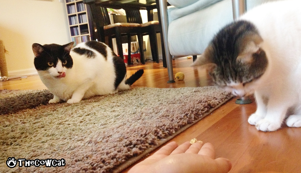 Starvation is killing me | The Cow Cat and his kitty sister eating on the floor
