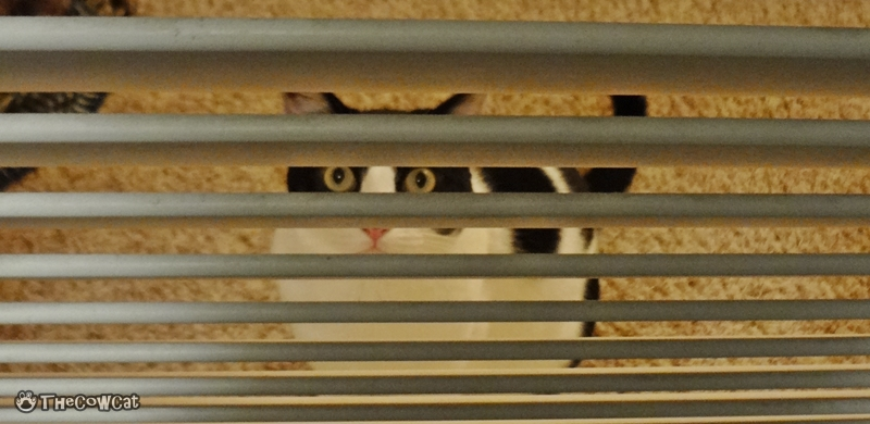 The Cow Cat | Kitties don't like the door closed watching through the closet