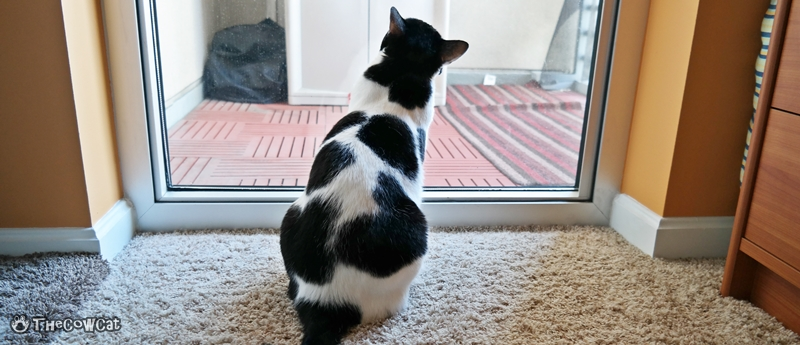 The Cow Cat | Kitties don't like the deck door closed cats want to go outside