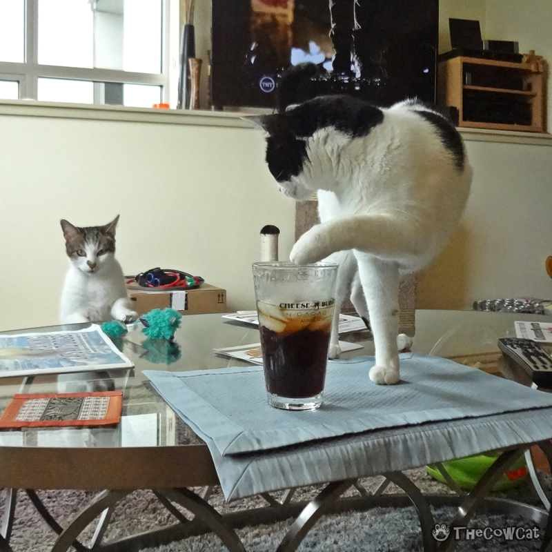 Are Cats Smart? How Smart Are They? | The Cow Cat This is how we drink