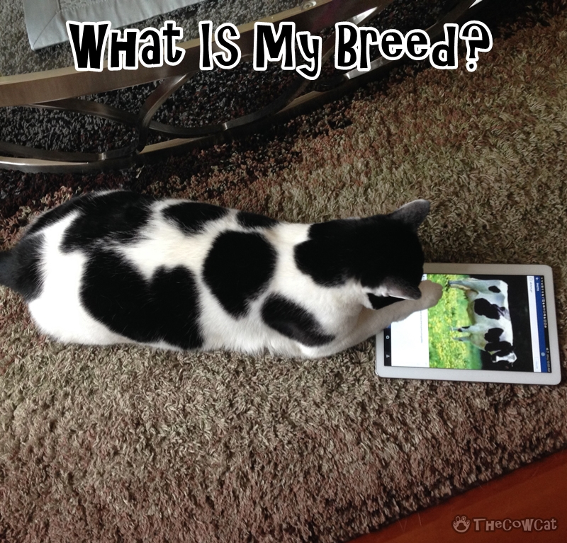 What Is My Breed? | The Cow Cat looking for his kitty breed