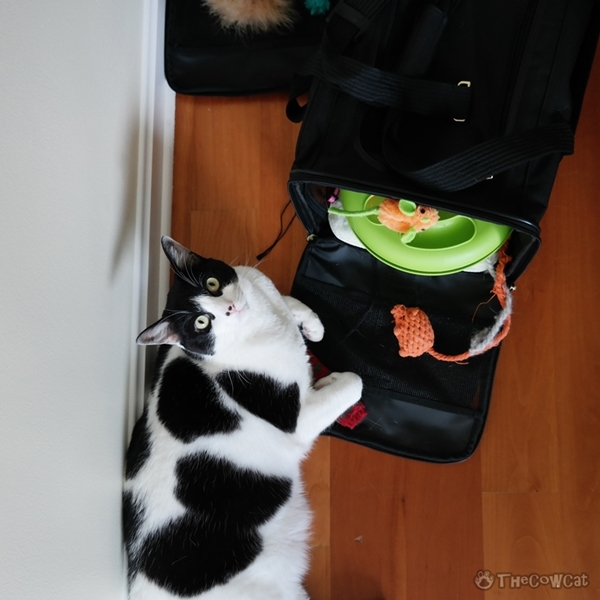 Cow Cat Was In The Air: My Advice To A Cat Owner If You Have To Take Your Cat On A Plane Cat Trap