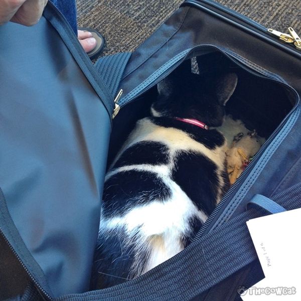 Cow Cat Was In The Air: My Advice To A Cat Owner If You Have To Take Your Cat On A Plane - TheCowCat is about to going to be boarded with Pink collar his favorite color
