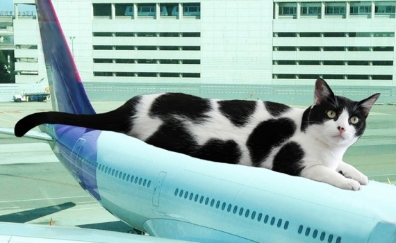 The Cow Cat Riding Air Plane - Ready to take off