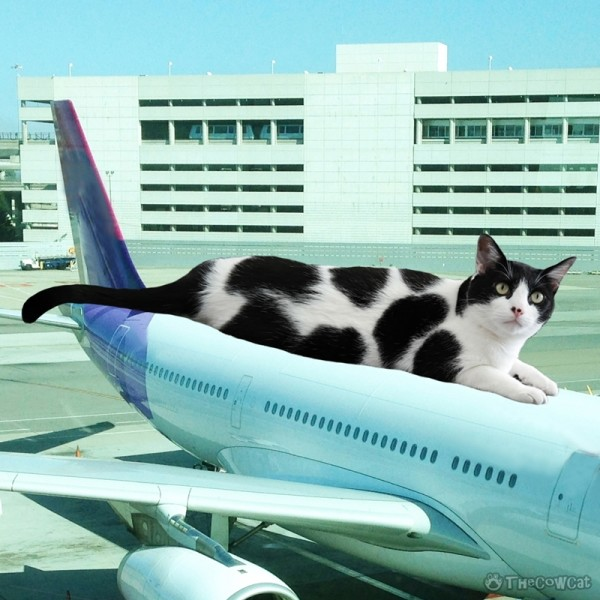 The Cow Cat Riding Air Plane - Ready for takeoff