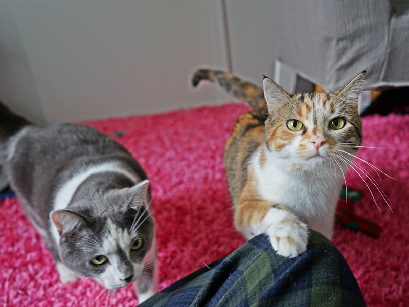 Help Foggy and Sunshine Find a Home Sweet Home: Cutest brother and sister cats | The Cow Cat