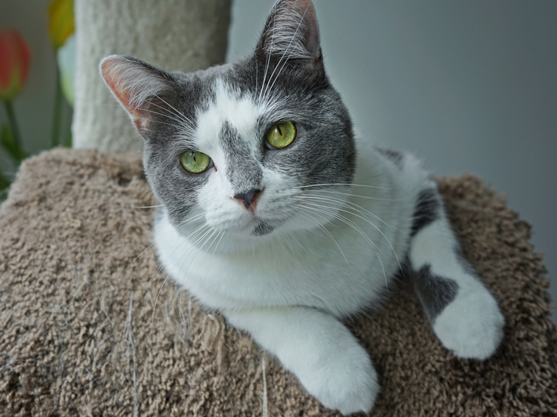 Help Foggy and Sunshine Find a Home Sweet Home: The Fluffy Foggy is up for adoption | The Cow Cat